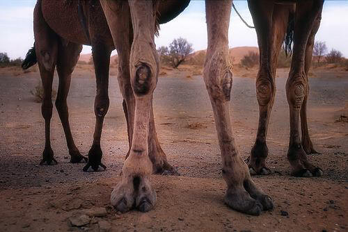 camel knees